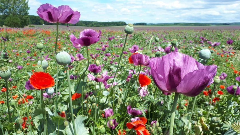 Ilyen csodás a virágba borult a pamuki mákmező