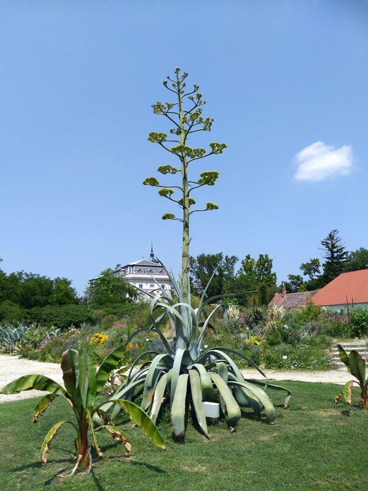 Most virágzik a keszthelyi agavé