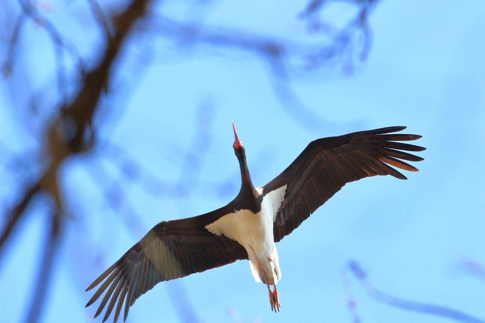 A Balatonhoz is megérkezett az első fekete gólya