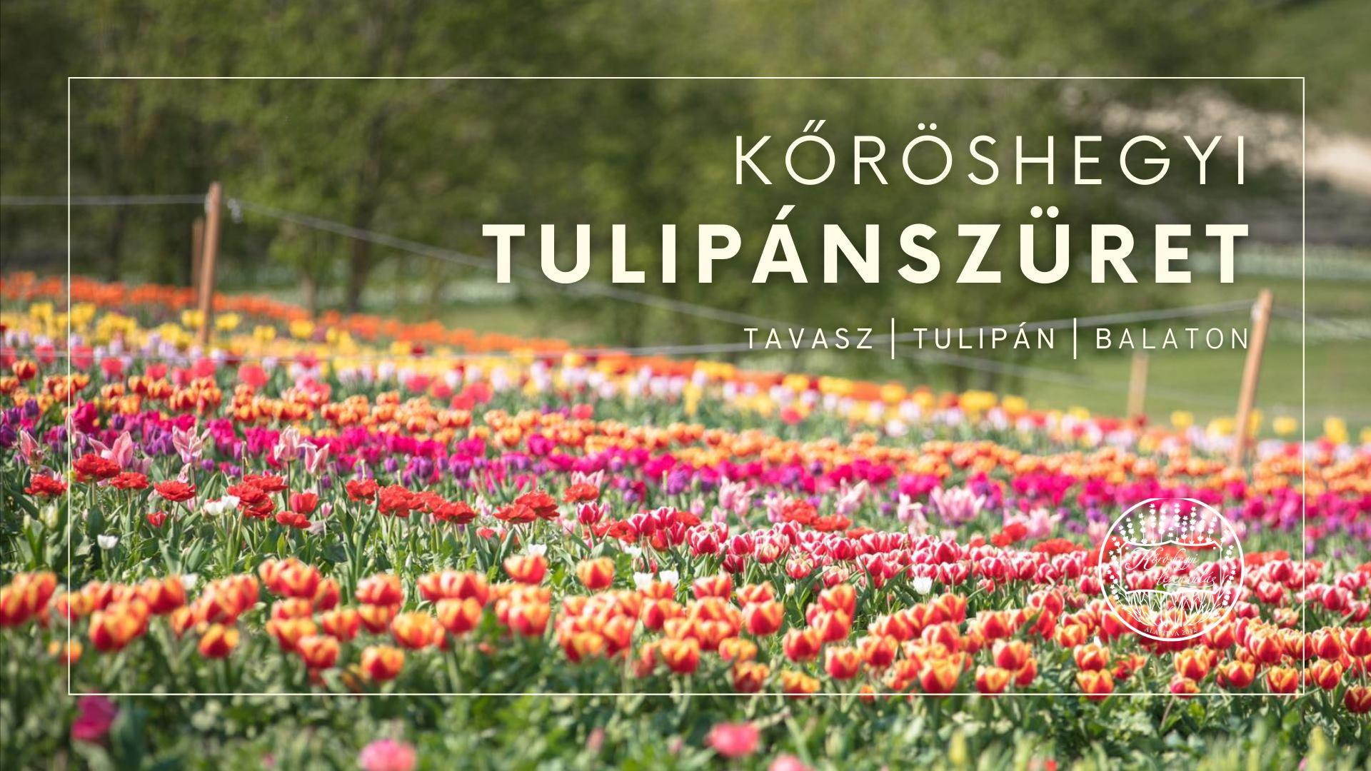 Tulipánszüret Kőröshegyen