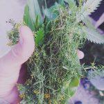 Gyógynövény ismertető séta Kapolcson